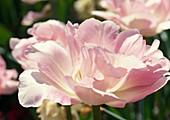 Tulipa 'Angelique' Gefüllte späte Tulpe Bl 00