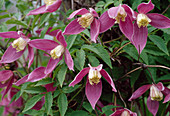 Clematis alpina 'Ruby' Bl 01