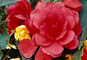 Begonia Tuberhybrida / Knollenbegonien Bl 01