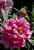 Paeonia suffruticosa 'Beaute de Twickel' Bl 00