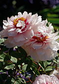 Paeonia suffruticosa 'Madame de Vatry' Bl 00