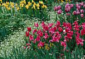 Tulipa 'Wonderful', 'Blue Diamond' , 'Golden Apeldoorn' / Tulpen Bl 00