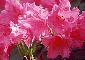 Rhododendron williamsianum 'August Lamken' Bl 01