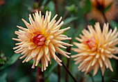 Dahlia hortensis 'Preference' / Dahlie Bl 01