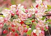 Blüten von Malus (Zierapfel) Bl 01