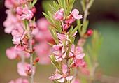 Prunus tenella (Zwergmandel) Bl 01