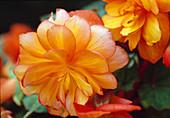 Begonia Tuberhybrida / Knollenbegonie Bl 01