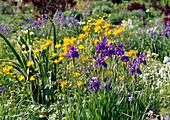 Trollius chinensis / Trollblume, Iris sibirica / Schwertlilie Bl 01