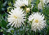 Dahlia-Hybr. Dahlia hortensis 'Furka' Bl 01