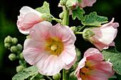Alcea ficifolia / Stockrose Bl 01