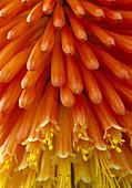Kniphofia 'Indian' Fackellilie Bl 02