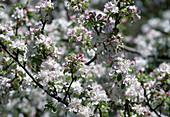 Malus Apfelblüte Bl