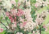 Blüten von Malus (Zierapfel)