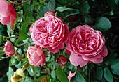 Rosa 'Leonardo da Vinci' / Floribundarose, öfterblühend, leichter Duft, Wuchshöhe ca. 60 cm