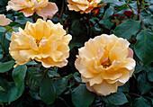 Rosa Tequila / Floribundarose, öfterblühend, kein Duft, für Hecken geeignet 02