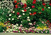 Pelargonium / Geranien, Petunia / Petunien, Argyranthemum / Margeriten, Bidens / Goldmarie, Tagetes / Studentenblume vorm Fenster
