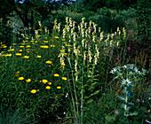 Buphthalmum Salicifoliu(Ochsenauge)