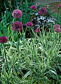 Allium aflatunense, Phalaris arundinacea 'Tricolor'