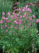 Sidalcea malviflora (Präriemalve)