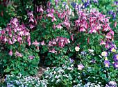 Aquilegia 'Spring Magic' / Akelei, Viola cornuta / Hornveilchen,