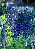 Anchusa azurea / Ochsenzunge, Euphorbia / Wolfsmilch,