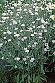 Lychnis coronaria 'Alba' / weiße Vexiernelke