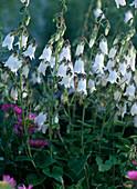 Campanula alliariifolia / Glockenblume