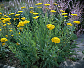 Achillea filipendulina-HYBR. 'Neugold'