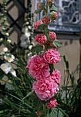 ALTHAEA ficifolia