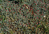 Antennaria Dioica 'Rubra'