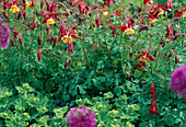 Aquilegia caerulea 'Olympia' rot / gold
