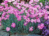 Dianthus caesius 'Theresa'