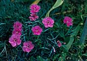 Dianthus CAESIUS (gratianopolitanus)