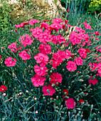 Dianthus CAESIUS, 'Feuerhexe'