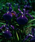 Iris kaempferi 'AMAZONE'