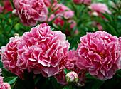 Paeonia-lactiflora-Hybr. 'Dr. Alexander Fleming'