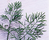 Anethum graveolens / Dill
