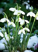 Galanthus nivalis 'Samuel Amott' / Schneeglöckchen (eine der