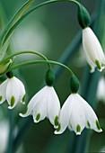 Leucojum aestivum (Sommer-Knotenblume)