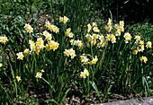 Narcissus tazetta 'Minnow' (Tazetten- Narzissen)