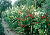Hollyhock Alcea rosea, Stockrose; Crocosmia 'Lucifer', Verbascum