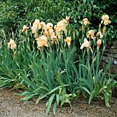 Iris 'MARY HAMILTON' (Apricot)