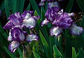 Iris barbata 'Ann Elizabeth' / Schwertlilie