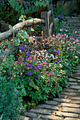 AQUILEGIAS AND GERANIUMS Beside A WOODEN FENCE AND COBBLESTONE PATH. LEEDS City COUNCIL Garden, CHELSEA 98