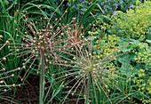 Allium schubertii (Igelkolbenlauch) mit Samenansatz