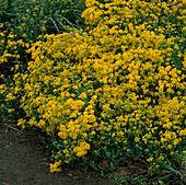 Aurinia saxatilis 'Gold Dust', Alyssum saxatile