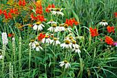 PRAIRIE PLANTING at Lady Farm: Echinacea PURPUREA 'White SWAN' , CROCOSMIA MASONIORUM AND LIATRIS Spicata 'Alba'