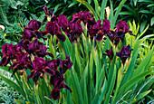 Iris barbata nana'Toots' (Zwerg-Schwertlilie)