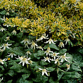Erythronium 'White Beauty' (Hundszahn), Euonymus fortunei'Variegatus (Spindelstrauch)