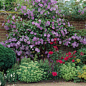 CLEMATIS 'Perle D'AZURE' CLIMBS OVER WALL ONTO Phlox 'STARFIRE' AND SEDUM SPECTABILE . VALE END, SURREY.